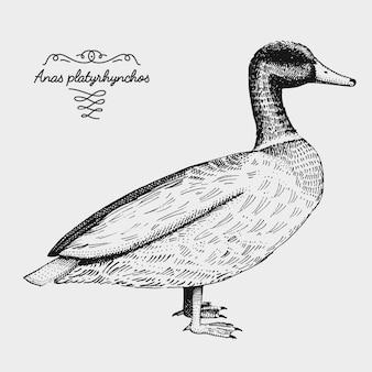 手描きのリアルな鳥、スケッチグラフィックスタイル、