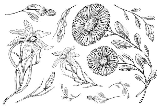 ユリの葉とつぼみ、ハーブ薬用カモミール。庭や春の植物で結婚式の植物の花。カード用。図。古いビクトリア朝のスケッチで描かれた刻まれた手。