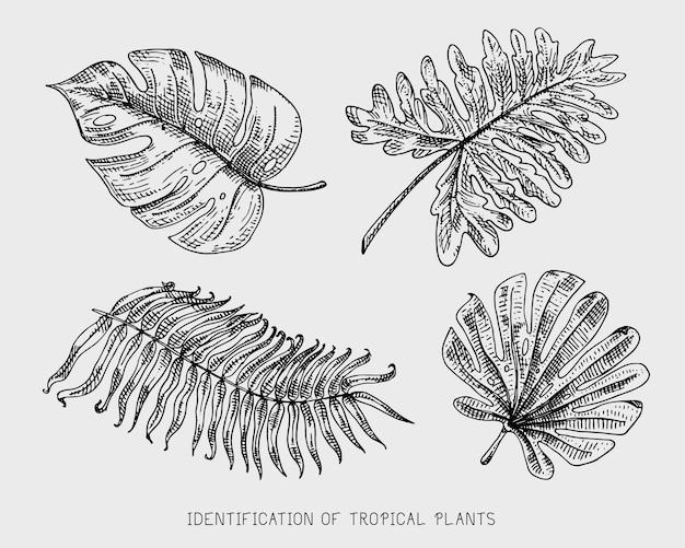刻まれた、手描きの熱帯またはエキゾチックな葉、異なるヴィンテージ探している植物の葉。モンステラとシダ、ヤシ、バナナ植物学セット