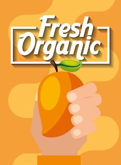 新鮮な有機フルーツマンゴーを持つ手