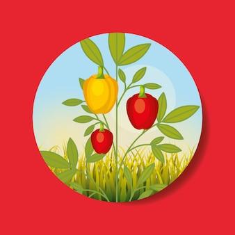 Плантация овощей сбор желтый красный перец