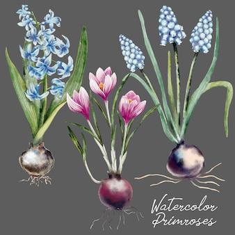 手描きのサクラソウの花の水彩画セット