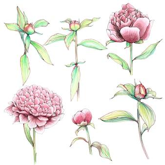 牡丹の花と芽の水彩セット