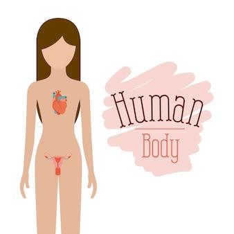 人体の循環系および生殖系