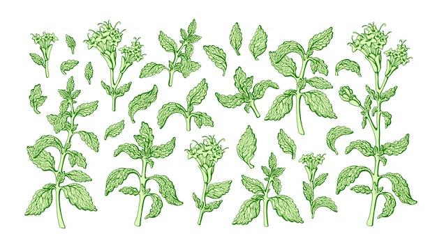 ステビアセット。緑の枝、葉、満開の花。健康糖尿病のスイートリーフフード。フレッシュハーブシュガー。有機的な代替。植物の手描きイラスト