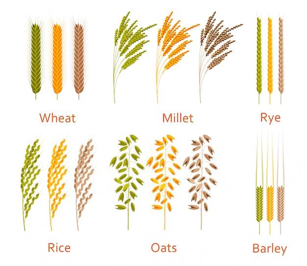 Зерновые растения установлены. источники углеводов. силуэт иллюстрации