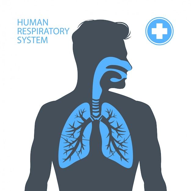 人間の呼吸器系。