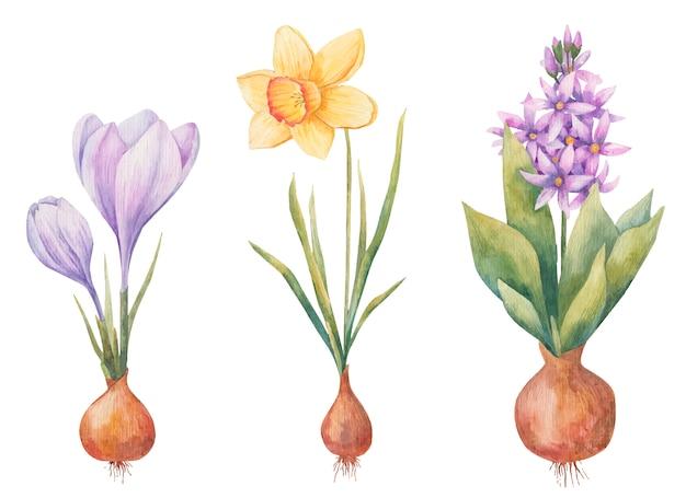 Луковичные растения весной, гиацинт, крокус и нарцисс на белом фоне