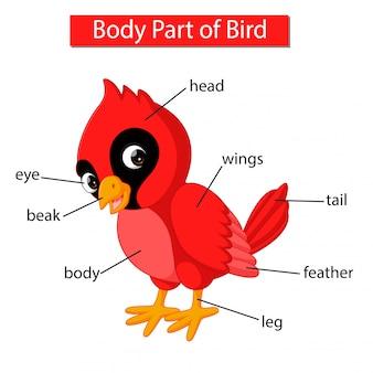 赤い枢機卿の鳥の体の部分を示す図