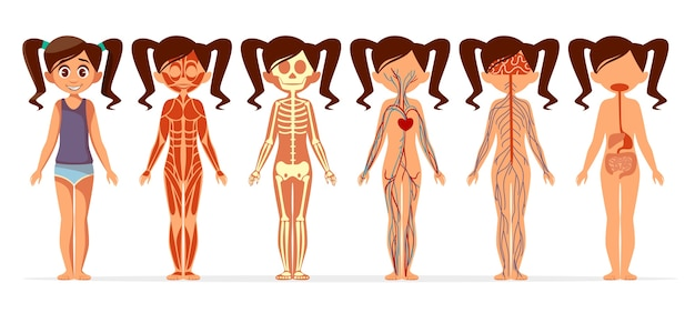 女の子の体の解剖学。漫画の医療女性の筋肉の人体の構造