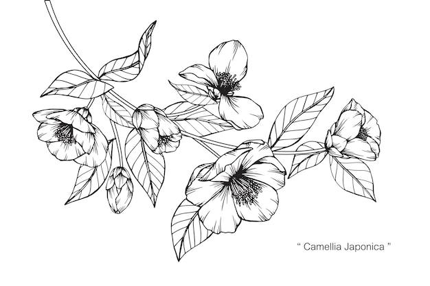 カメリアジャポニカの花の描画のイラスト