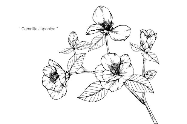 Камелия японица цветок рисунок иллюстрации