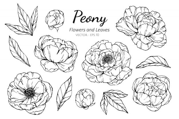 Комплект собрания цветка пиона и иллюстрации чертежа листьев.