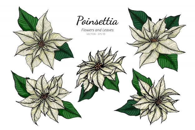 ラインアートとイラストを描く白いポインセチアの花のセット