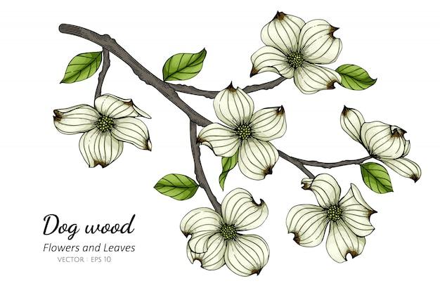 白いハナミズキの花と白い背景のラインアートとイラストを描く葉。
