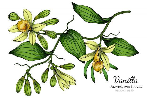 Иллюстрация чертежа цветка и лист ванили с линией искусством на белых предпосылках.