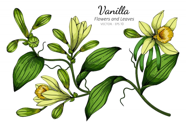 Ванильный цветок и рисунок листьев иллюстрации с линией искусства на белом
