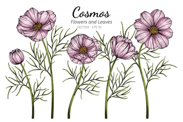 ピンクのコスモスの花と葉の白い背景のラインアートとイラストを描きます。