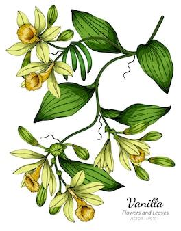 Ванильный цветок и лист рисунок иллюстрация