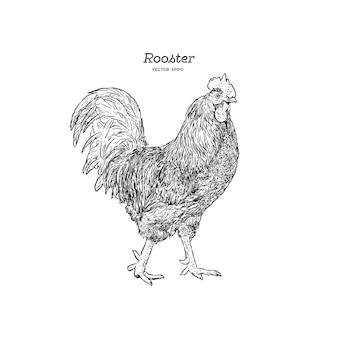 手で描いた雄鶏を隔離した。刻まれたスタイルのベクトル図。あなたのデザインのためのテンプレート