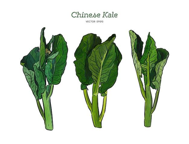 Чизе кале или китайская брокколи, овощная. рука рисовать эскиз вектор.