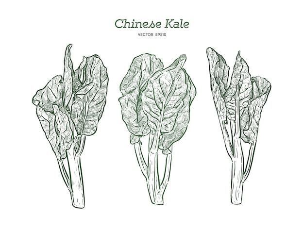 Чизе кале или китайская брокколи, рука рисовать эскиз.