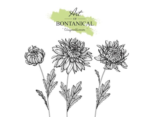 菊の葉と花の絵。ヴィンテージ手描き植物イラスト。ベクター