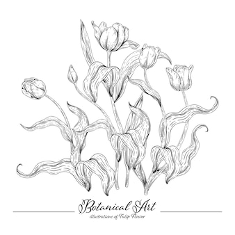 スケッチ花植物コレクション、チューリップの花の絵。