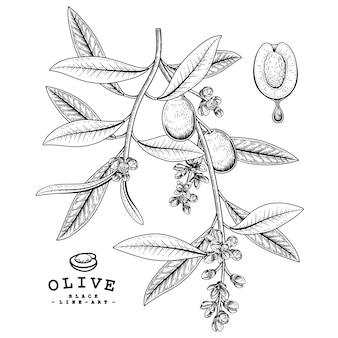Эскиз оливковый декоративный набор. рисованной ботанические иллюстрации. черный и белый с линией искусством, изолированные на белом фоне. завод чертежей. элементы в стиле ретро.