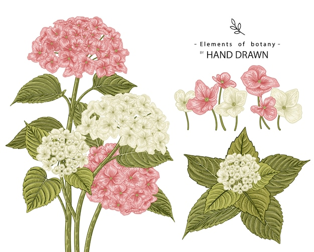花の装飾セットをスケッチします。ピンクと白のアジサイの花の絵。分離されたビンテージラインアート。手描きの植物イラスト。