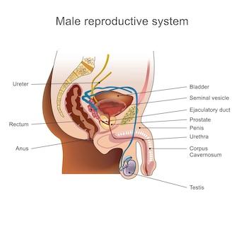 男性の生殖器系。