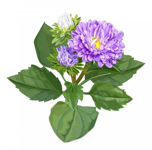 白で隔離される菊の花