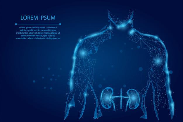 男シルエット健康な腎臓低ポリワイヤフレーム。低ポリ泌尿器系医学治療