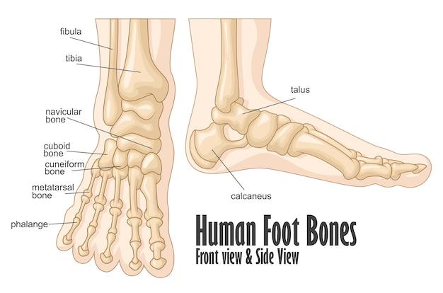 人間の足の骨の正面と側面の視野の解剖学