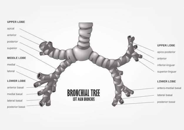 気管支樹は主気管支のヒトの解剖学的構造を残した