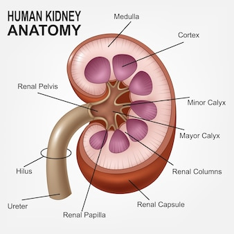人間の腎臓の解剖学、現実的なバージョン
