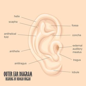 人間の器官の外耳図の聴覚