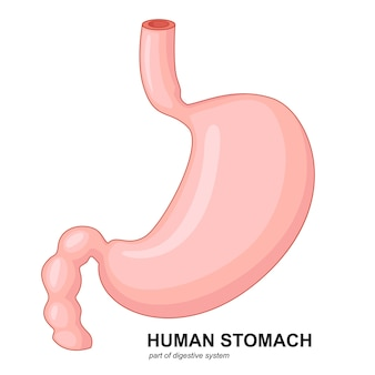 Человеческий желудок