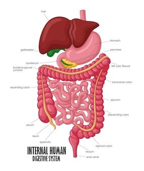内部の人間の消化器系のイラストの一部