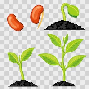 Стадии роста растений от семян до прорастания изолированы