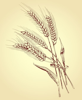 小麦の手描きの耳、穀物、ベーカリースケッチベクトルイラスト