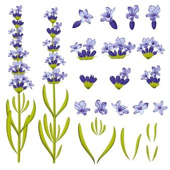 ラベンダーの花。図