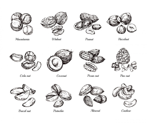 手描きのナッツと種子。落書きスケッチピーナッツ、ヘーゼルナッツ、カシューナッツ分離セット