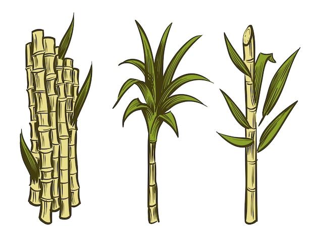 白で隔離されるサトウキビ植物
