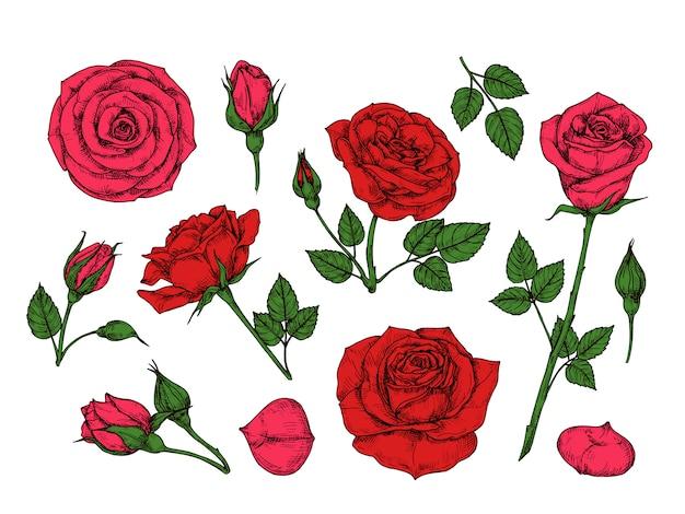 赤いバラ。緑の葉、つぼみ、とげと手描きのバラの庭の花。漫画の孤立したコレクション