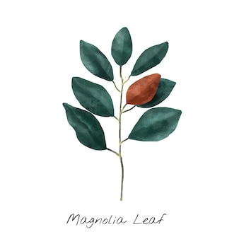 白い背景に隔離されたマグノリアの葉の図。