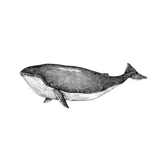 手で描かれた鯨は白い背景に