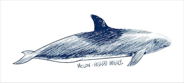 メロン頭クジラのイラストの描画スタイル