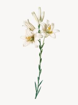 Винтажная иллюстрация лилии мадонны