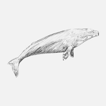 灰色のクジラのイラスト描画図